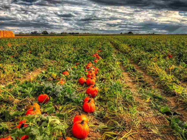 A new programme to encourage pumpkin farming has been launched